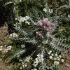 Chardon des Pyrénées fausse-carline (Carduus carlinoides)