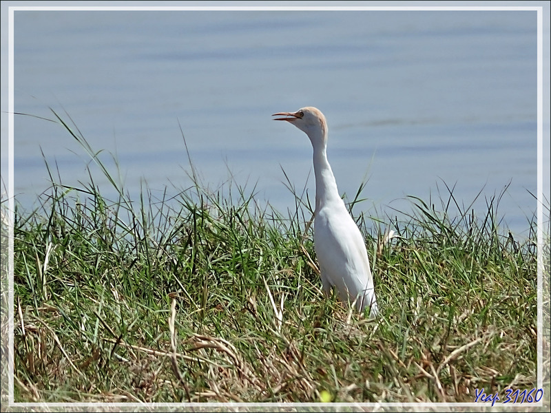 Héron garde-boeufs, Western Cattle Egret (Bubulcus ibis) - Safari nautique - Parc National de Chobe - Botswana