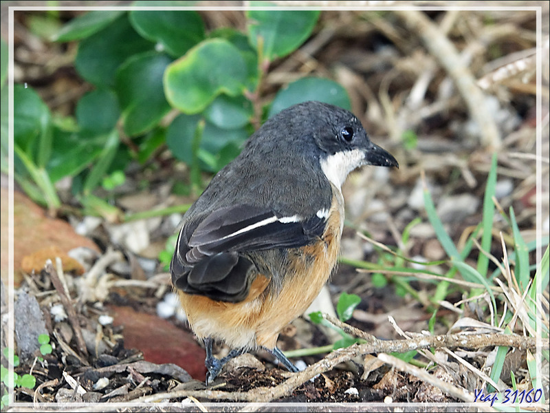 Gonolek boubou, Southern Boubou (Laniarius ferrugineus) - Cape Point - Afrique du Sud