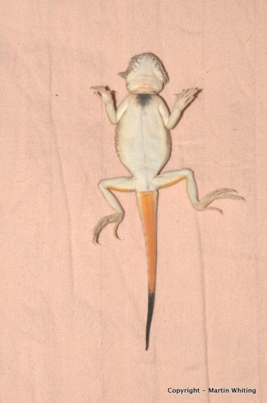 Phrynocephalus mystaceus (8)