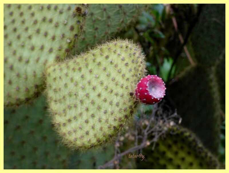 Fruits de cactus !.....