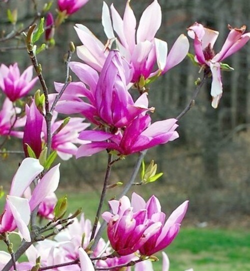 Fleurs cultivées : Magnolia