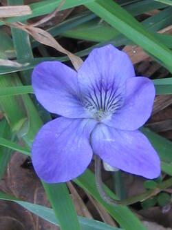 Semaine 10 : les violettes