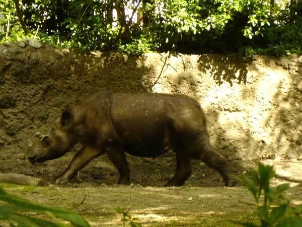 Rhinoceros de Sumatra