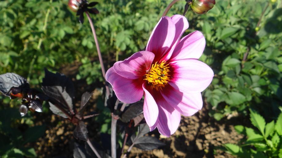 Le Dahlia... Une Plante si Pleine de soleil