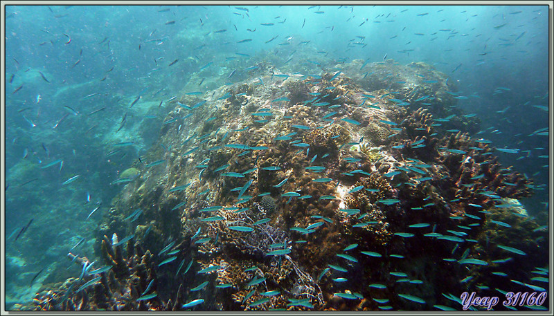 Banc de poissons coralliens bleus - Anse Takamaka - Mahé - Seychelles