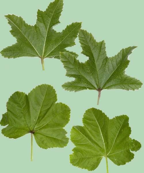 Vertus médicinales des plantes sauvages : Mauve