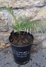 Lytocariyum weddelliamum