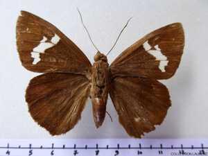 Hesperidae non déterminés 2