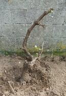 la vigne (muscat)