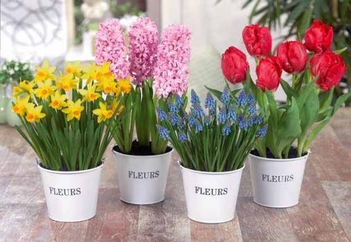_bulbes_d_interieur_jacinthe_narcisse_muscari_tulipe_willem.jpg