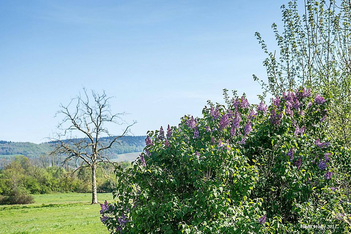 Les lilas de Baudin