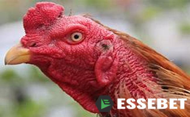 Adu Ayam Taji