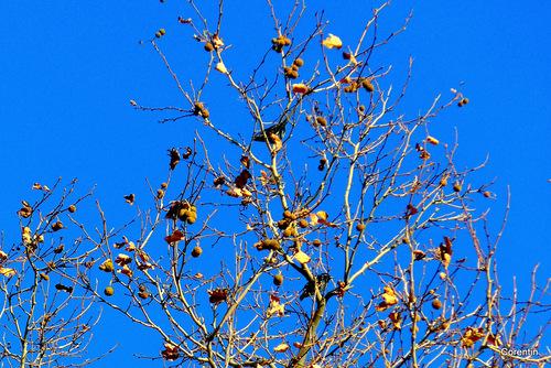 Le platane et les oiseaux