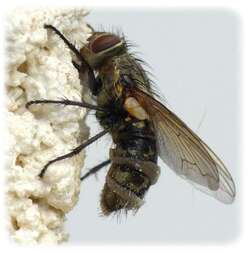Pollenia sp