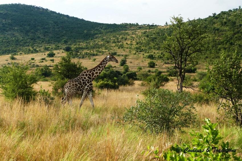 Familles de girafes