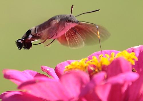 Moro sphinx ou Sphinx colibri - Macroglossum stellatarum