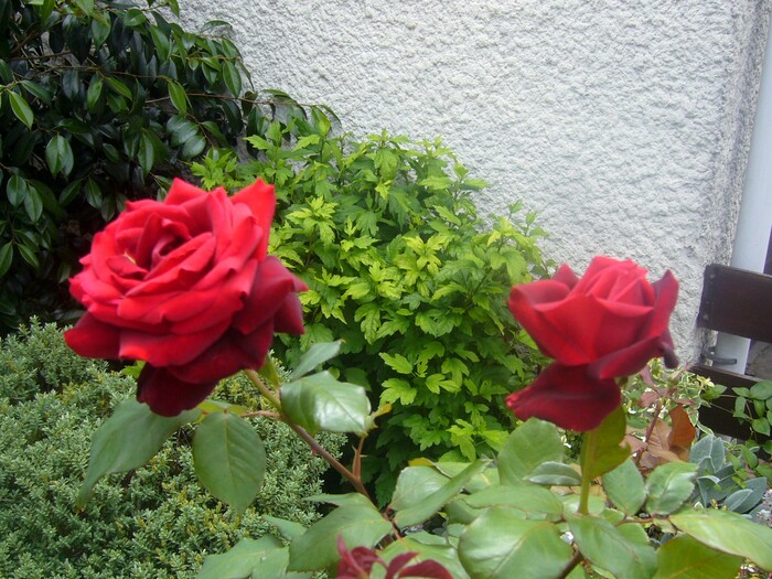 2011 - Roses rouges