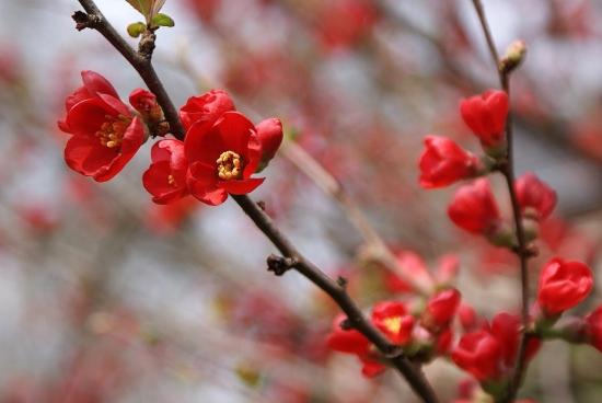 Fleurs de printemps mur de couleurs - Arbuste fleur rouge printemps ...