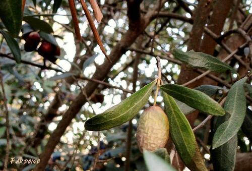 La fête de l'olive piquée