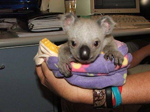 Koalas 05 - !cid 6F6142357DFE482FB574368828EAE878@PCdejoel