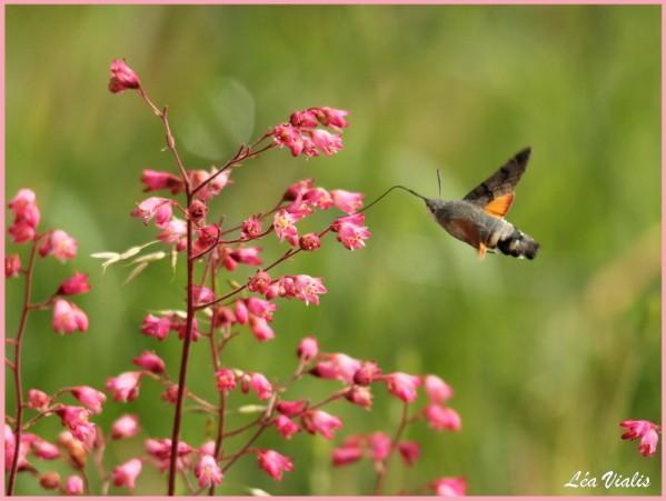 Papillons-0265-Moro-sphinx.jpg