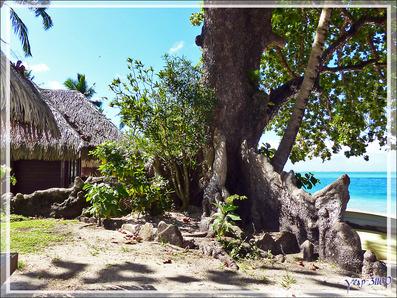 Les superbes racines du Takamaka, Tamanu (Calophyllum inophyllum) - Baie d'Avea - Huahine - Polynésie française