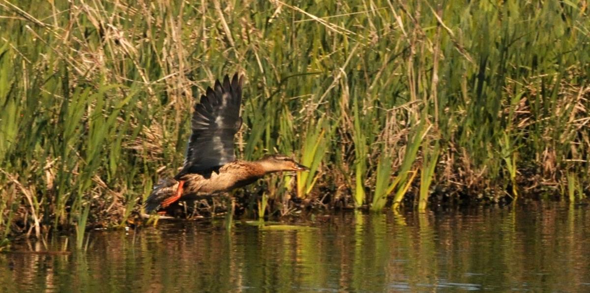 Canards dans le Doubs
