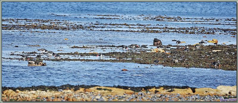 Huîtrier de Garnot, Magellanic Oystercatcher (Haematopus leucopodus) - New Island - Falkland (Malvinas, Malouines) - Grande-Bretagne