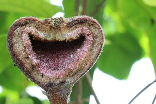 La saison des figues...
