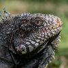 Iguana iguana head from Venezuela