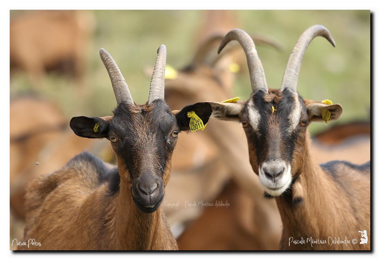 Chèvres en cévennes