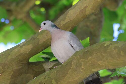 Pigeon Colombin (Stock Dove)