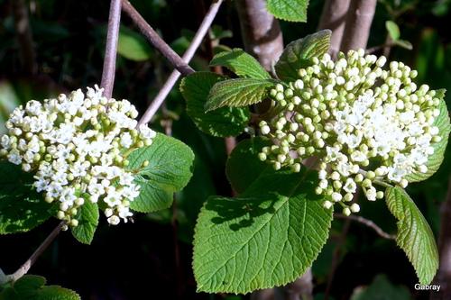 Petites fleurs blanches: viorne lantane
