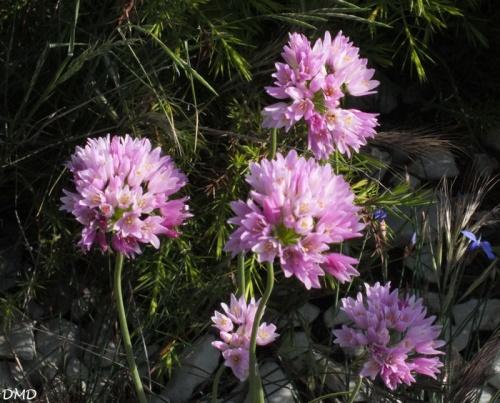 Allium roseum  -  ail rose