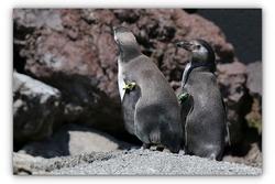 Manchot de Humboldt - Parc des oiseaux