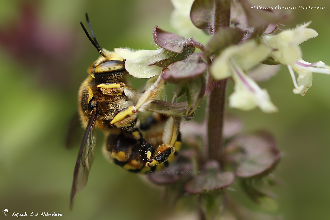 Anthidium ♀