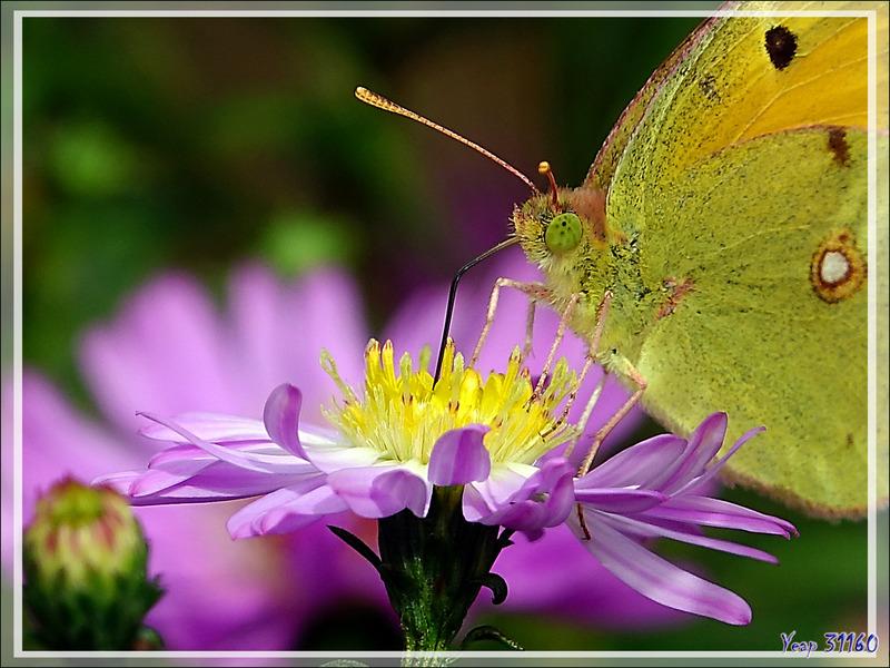 Papillon Souci (Colias croceus ou crocea) - Lartigau - Milhas - 31