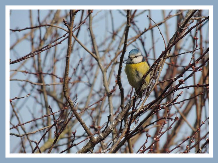 Oiseaux de nos jardins.Images gratuites.Mésange charbonniere.Mésange bleue.Chardonneret