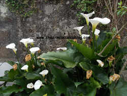 Eucomis dans le jardin