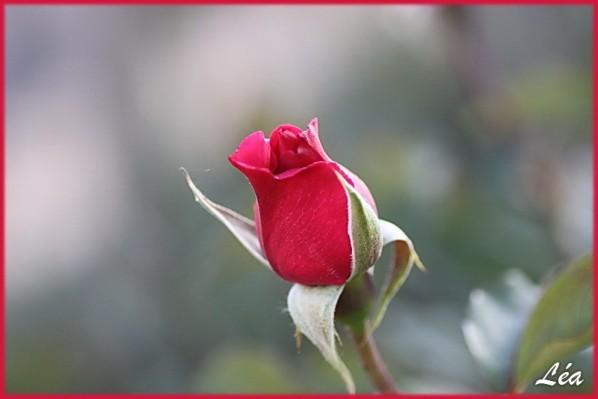 Fleurs-2-2902-rose-bouton.jpg