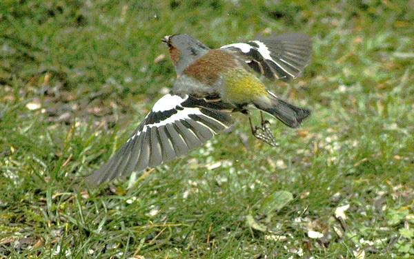 Dix-huit sortes d'oiseaux ont fréquenté mon jardin durant l'hiver 2015-2016...