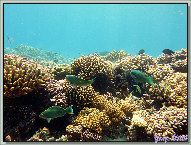 Plongée bouteille Passe Tumakohua : Poissons-perroquets - Atoll de Fakarava - Tuamotu - Polynésie française