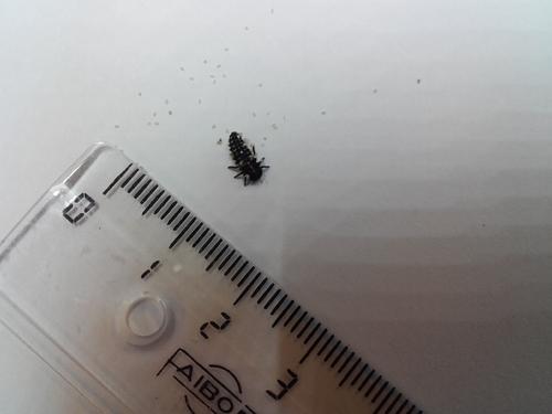 Croissance des larves le 21 avril 2017