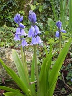 Mes Fleurs Bleues