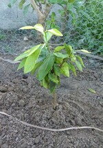 plantule agrume