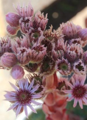 Sempervivum Tectorum ou Joubarbe des toits - Les fleurs