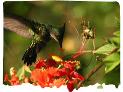 image colibris