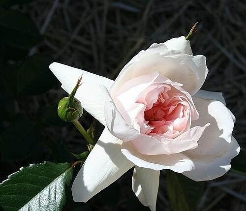Les Roses de Warren : The Temptress