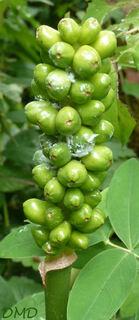 Arum italicum - arum d'Italie - gouet d'Italie